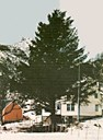 The huge Sitka spruce, the farmyard tree, by the residence under Eiakletten at Skorpeide on the island of Skorpa. Adolf Skorpeide planted the spruce tree in 1941.<br /> [The Latin name for the Sitka spruce is <i>Picea sitchensis</i>, sitchensis means 'from Sitka' in Alaska].